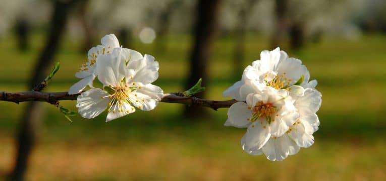 Zwei offene Mandelblüten