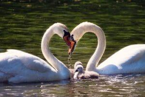 Schwanenfamilie auf dem See